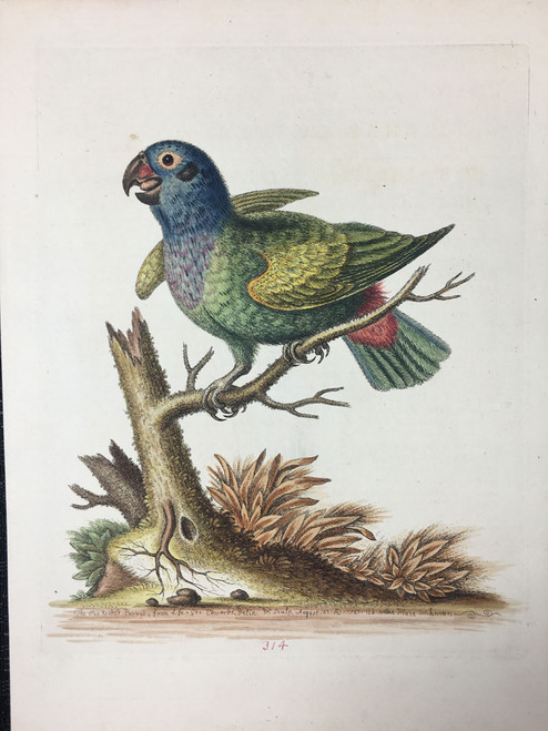 #314 Blue Headed Parrot