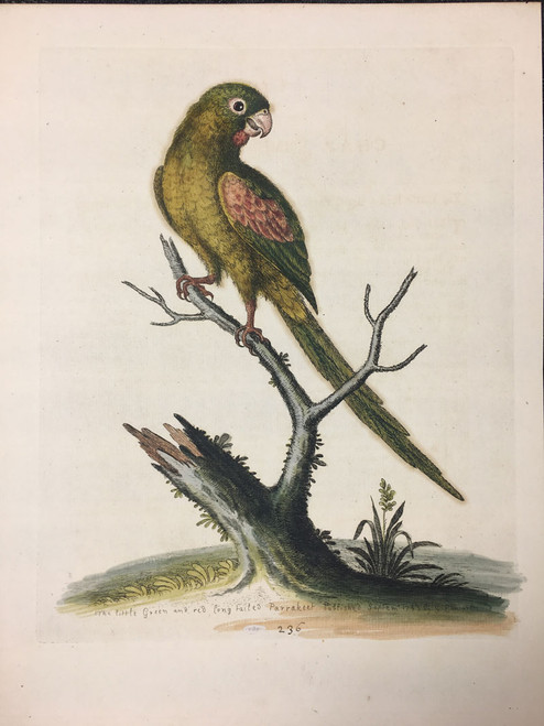 #236 Little Green & Red Long Tailed Parrakeet