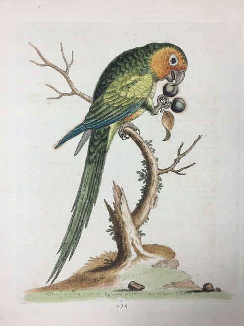 #234 Yellow Faced Parakeet