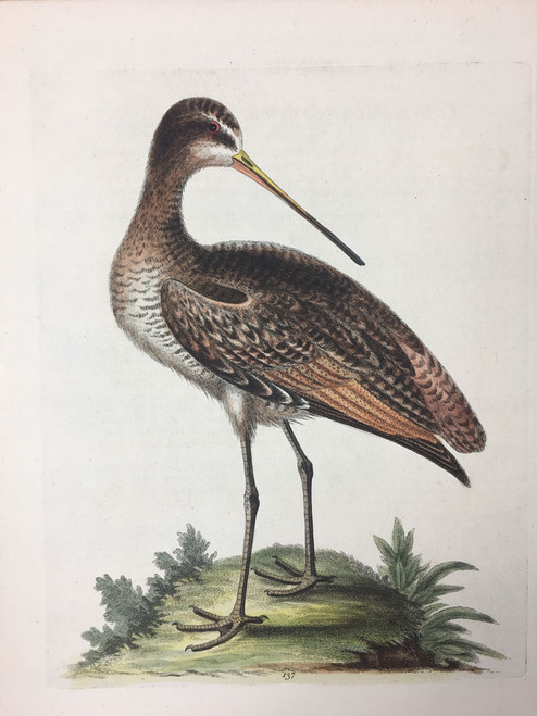 #137 Great American Godwit