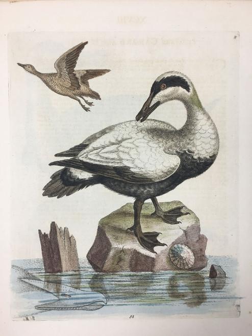 #98 Great Black & White Duck