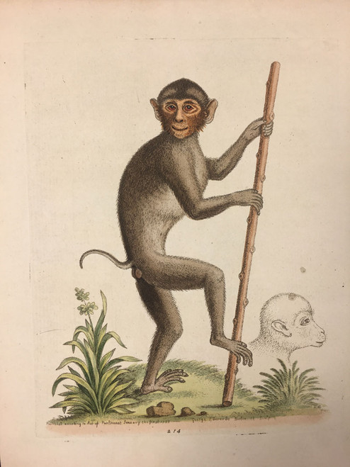 #214 Chimpanzee