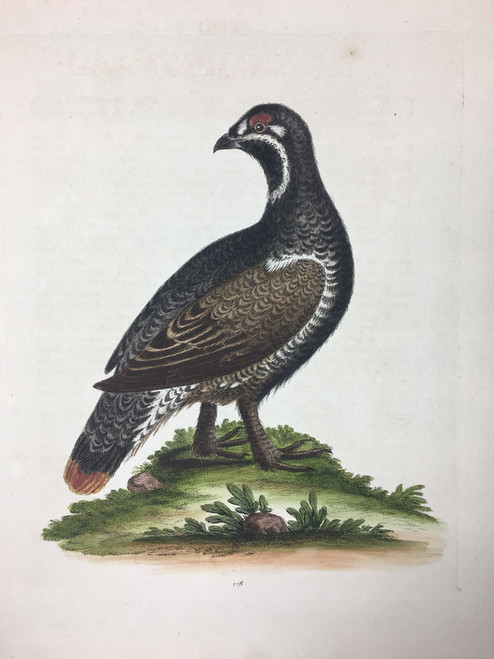 #118 Black & Spotted Heathcock