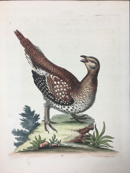 #117 Long Tailed Grouse