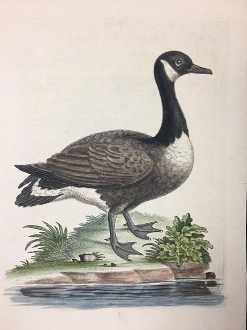 #151 Canada Goose