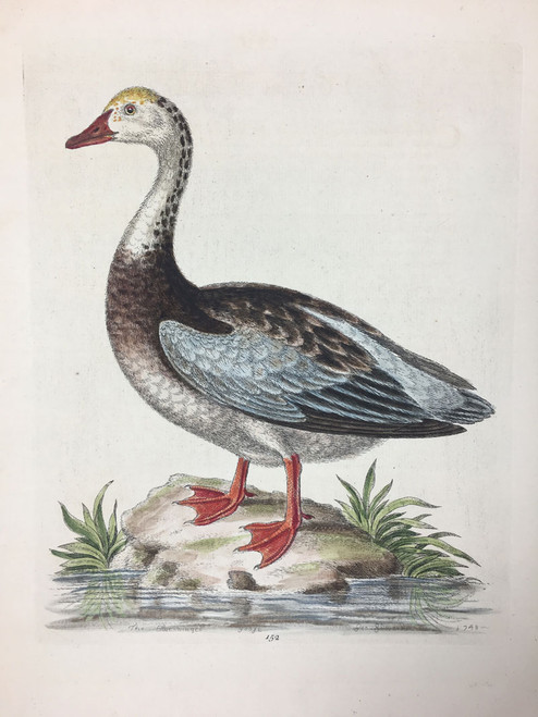 #152 Blue Winged Goose
