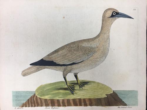 Soland Goose