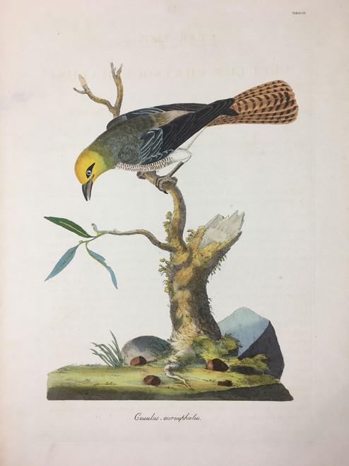 Cuculus aurocephalus TAB.XLVII (Cuckoo)