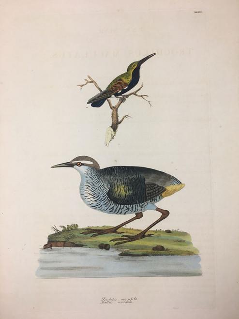 Trochitus-maculata (Hummingbird) Rallus-ecaudata (Tahiti Rail) TAB. XLVII