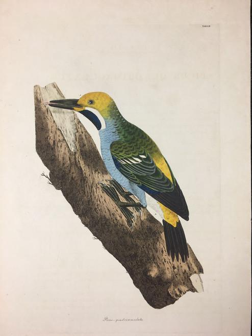 Picus - quadrimaculata TAB, LIV (Woodpecker)