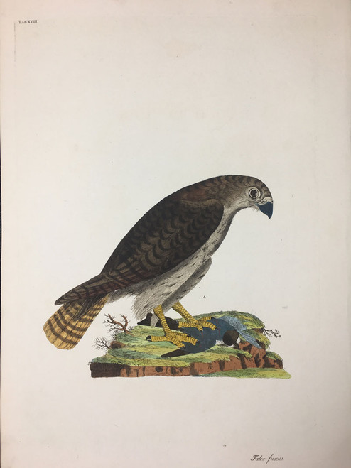 Falco fuscus TAB. XVIII (Sharp Shinned Hawk)