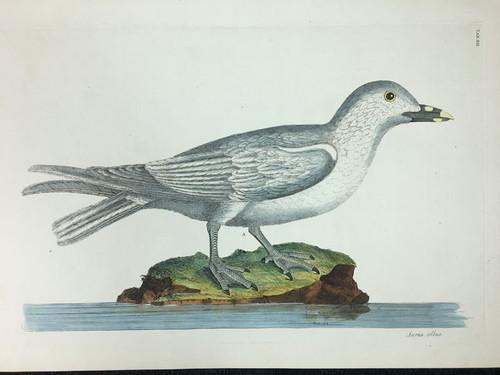 Larus albus TAB.XII (White Gull)