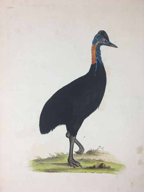 Struthio casuarius TAB. XIV (Southern Cassowary)