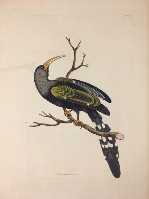 Promorops-Purpureus TAB. LII (Greenwood Hoopoe)
