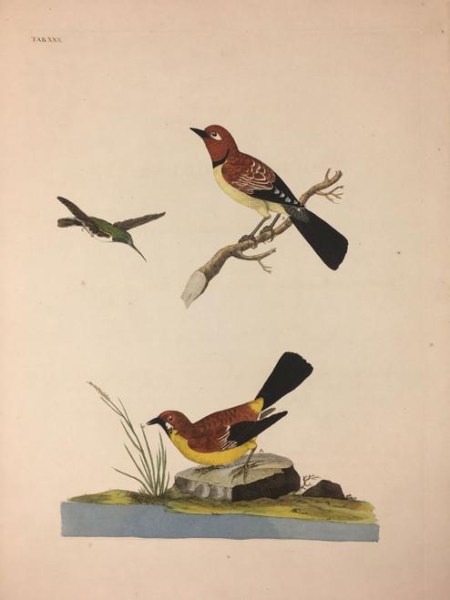 Trochilus gularis;Fringilla torquator;Motacilla, qualaris TAB.XXX