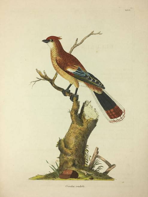 Cuculus-crestata TAB. LI (Crested Cuckoo