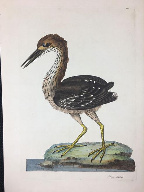 Ardea navia TAB. XXXV (Brown Heron)