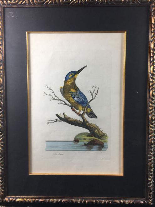 Alceda formosa TAB. LVXIII (Belted Kingfisher)