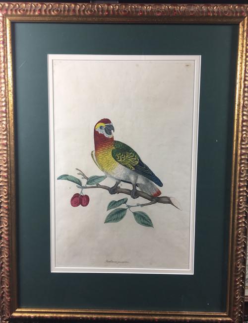 Psaltacus quincensis. TAB. XXIX (Parrot)