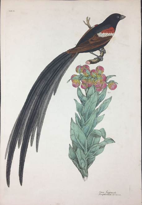 Loxia longicauda, Gnaphalium eximium TAB.III (Long Tailed Canary, Giant Cudweed)