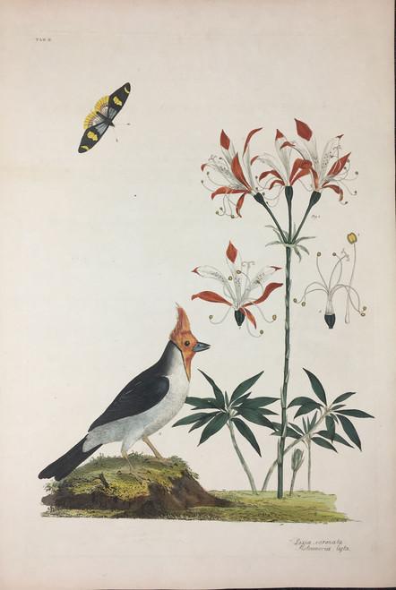 Loxia coronata, Alstromeria ligta TAB. II (Dominican Cardinal, Lily of the Inca)