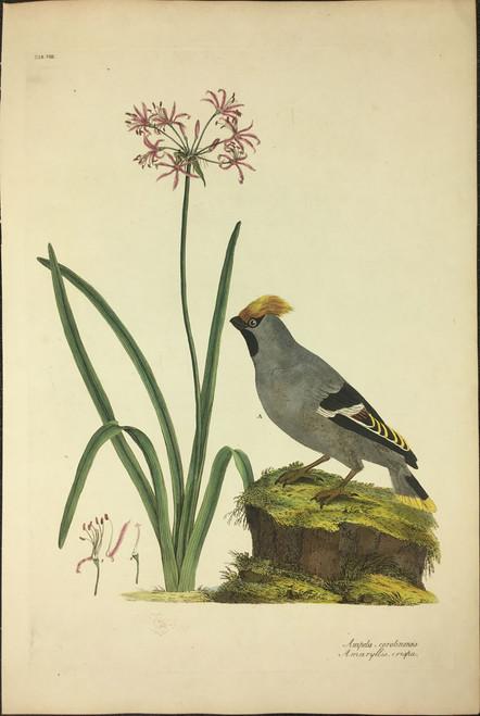 Ampelis-corolinensis, Amaryllis, crispa TAB.VIII (Bohemian Wax Wing, Amaryllis)