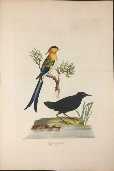 Fringilla-forficata, Rallus-nigra TAB. L (Fringilla & Polynesian Black Rail