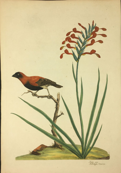 Loxia Orix, Antholyza Cunonia (Southern Red Bishop Bird, Gladiolus