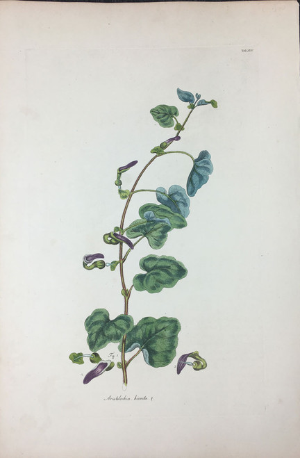 Aristolochia hirsuta TAB. XLV (Dutchmans Pipe or Birthwort)