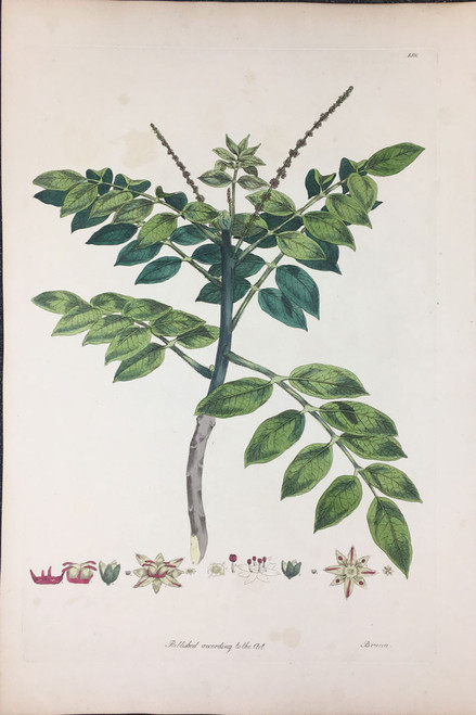 Brucea TAB.XXV (Medicinal plant used for dysentery)