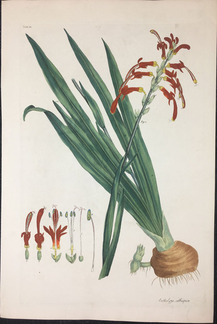 Antholyza oethiopica TAB. IX (Flag Lily)