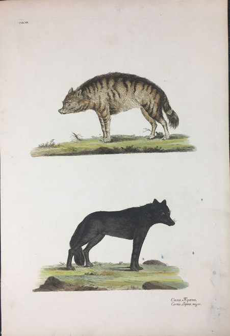 Canis Hyoena & Canis Lupus, niger TAB. XIX (Hyena, Black Wolf)