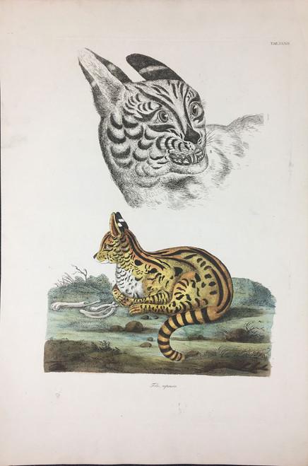 Felis capensis TAB.XXXIX (Serval)