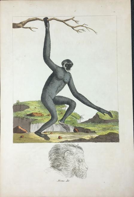 Homo Lar TAB. XXVII