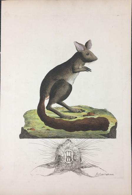 Jerboa capensis TAB.XXXI