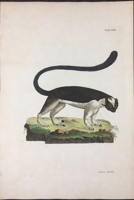 Lemur bicolor TAB. XXXII (Bicolor Lemur)