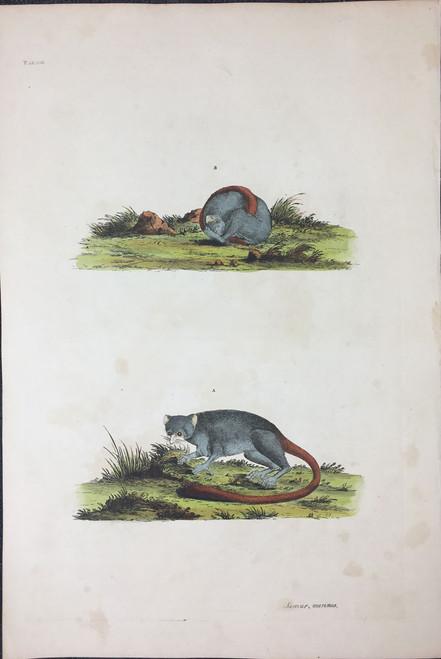 Lemur murinus TAB.XIII (Grey Mouse Lemur)
