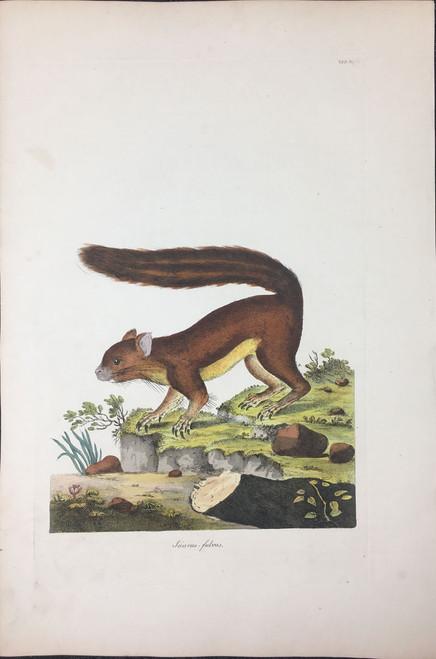 Sciurus fulvus TAB.XLVI (Brown Squirrel)