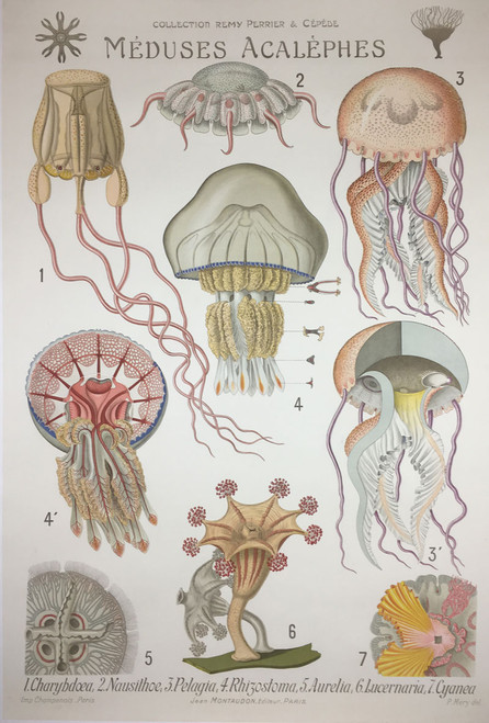 Meduses Acalephes Jellyfish one of a 21 piece set Rare zoology science biology health sciences on linen