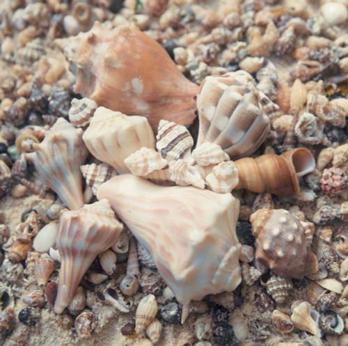 Mansfield Kathy Shell Collection II Costiero cm86X86 Immagine su CARTA TELA PANNELLO CORNICE Quadrata
