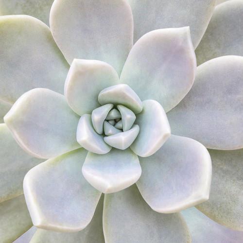 Biebel Aeonium Fiore Floreale cm54X54 Immagine su CARTA TELA PANNELLO CORNICE Quadrata