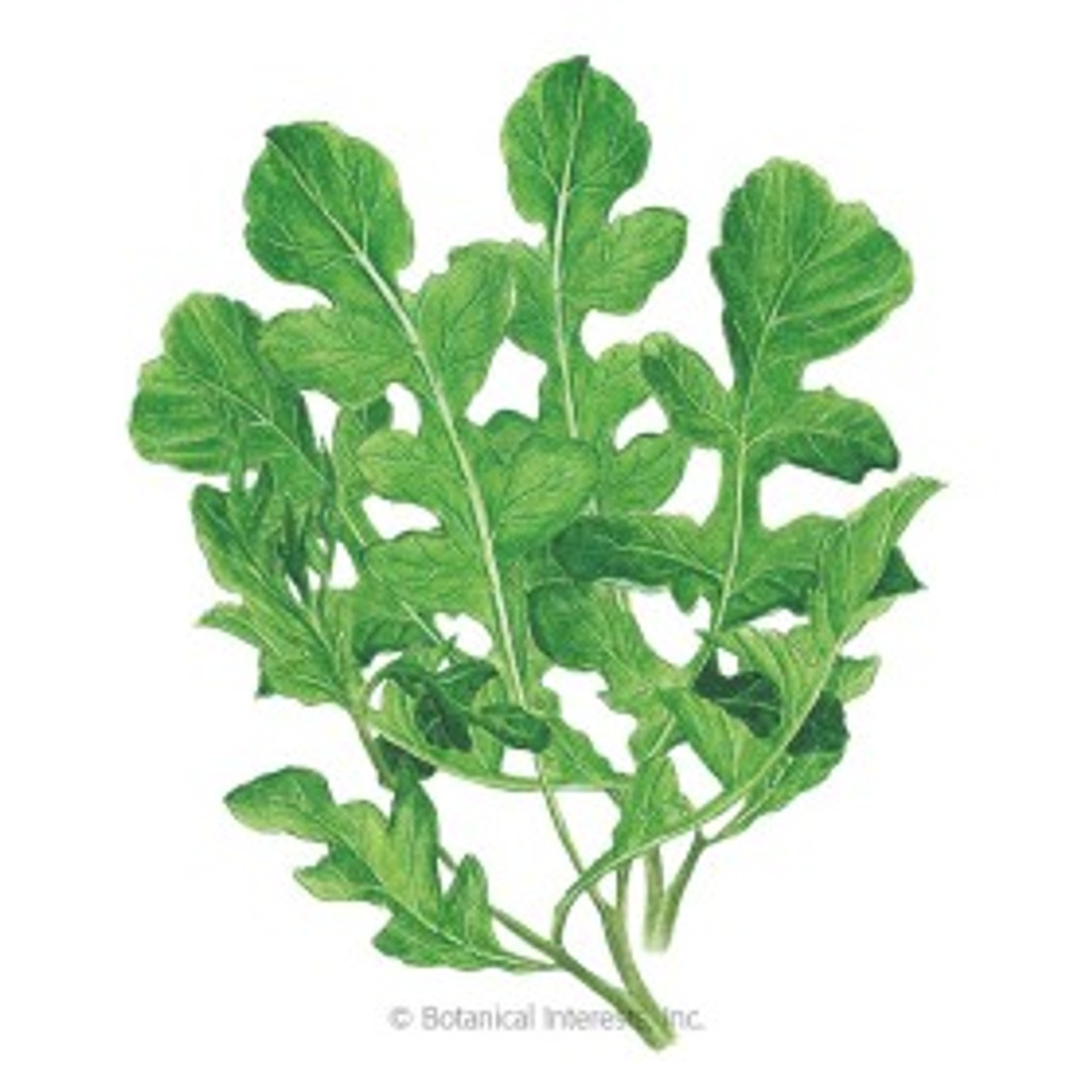 Arugula Rocket Salad Organic