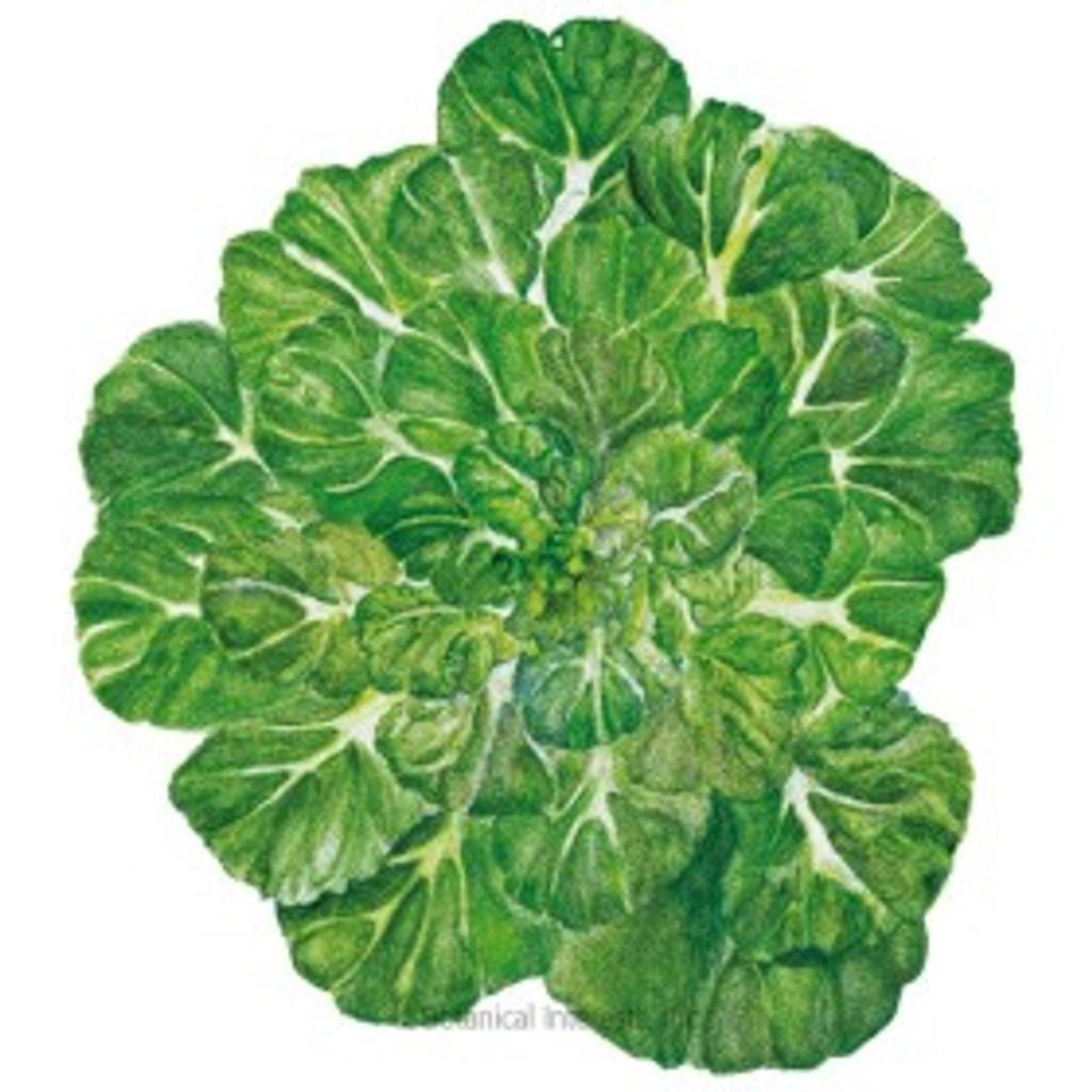 Bok Choy Tatsoi Rosette Organic
