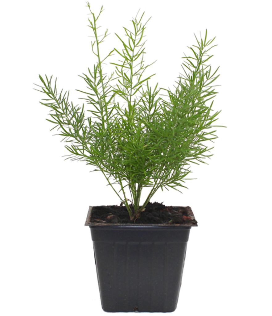 "Fern 'Asparagus setaceus' 4.5"""