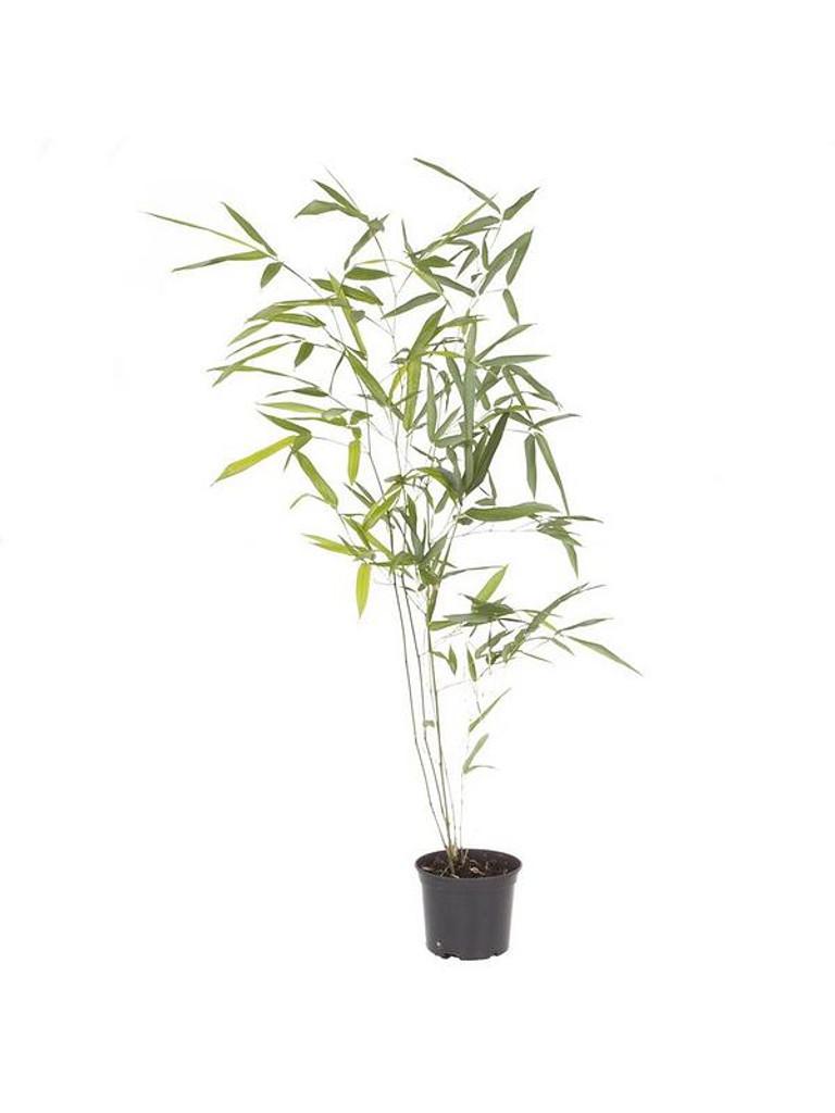 Bamboo Bissetii Bamboo 'Phyllostachys bissetii' 5g