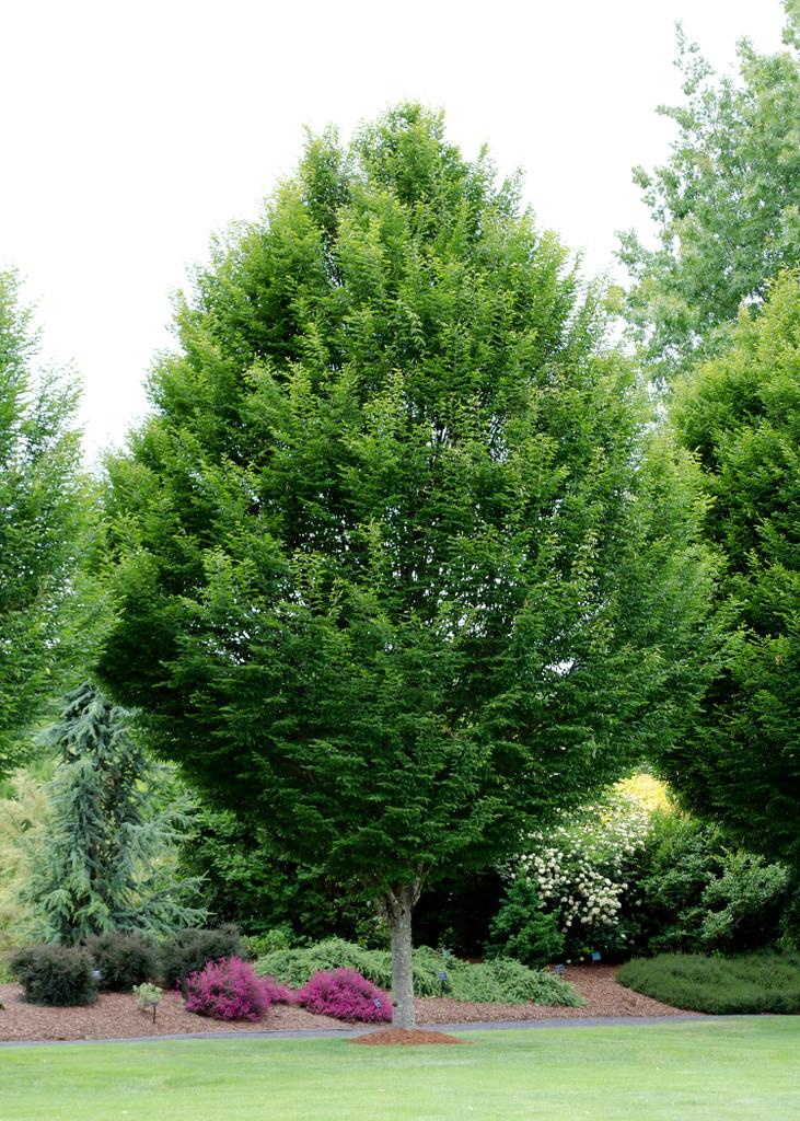 Carpinus betulus 'Fastigiata' Columnar European Hornbeam 15g