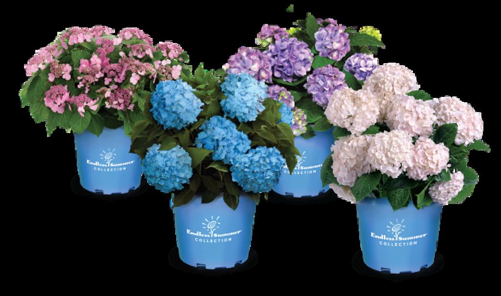 Hydrangea 'Endless Summer' Blue 3g