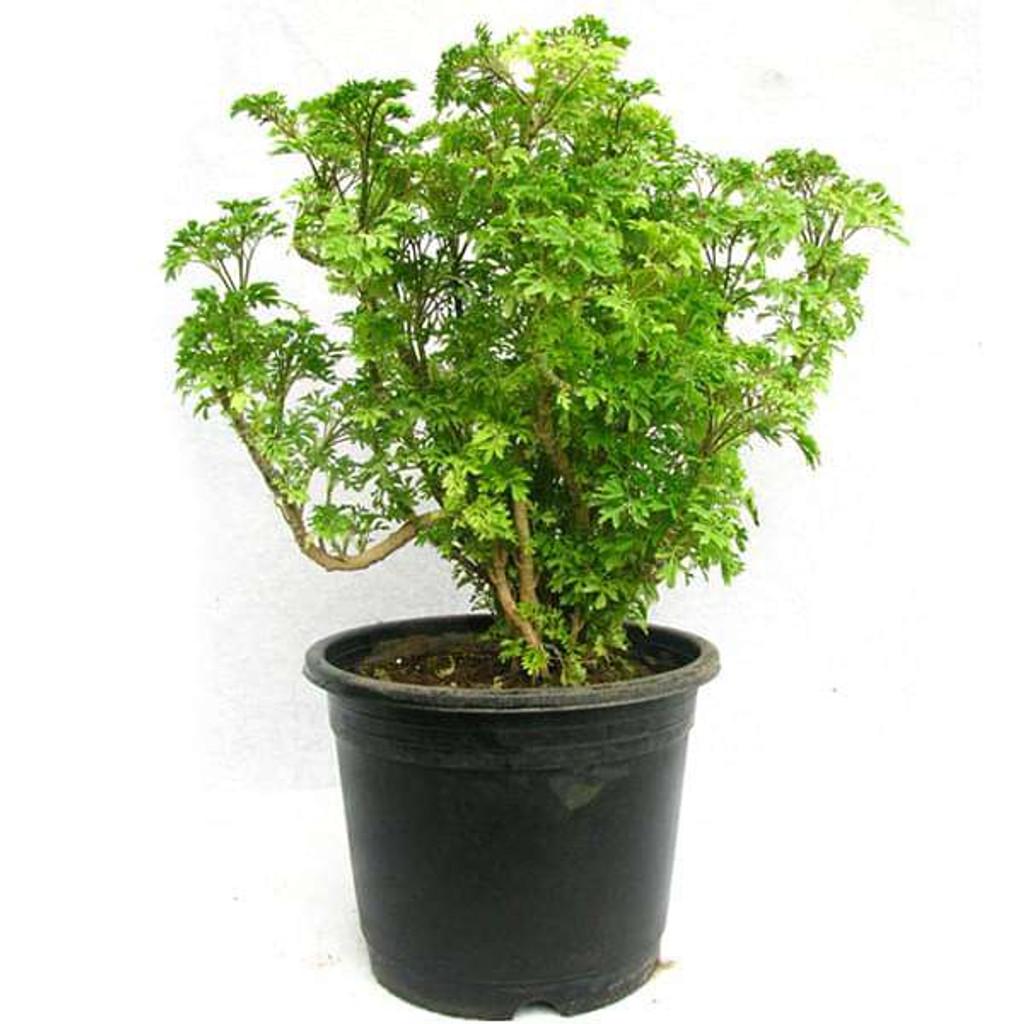"Aralia Plant 4"" 6"" 8"" 10"""