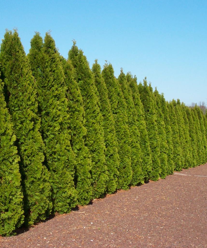 Arborvitae 'Thuja' Assorted 1g to 7ft