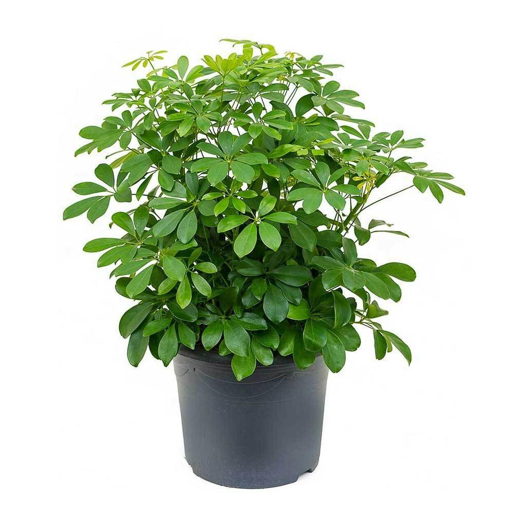 "Schefflera arboricola 4"" 6"" 8"" 10"" 14"""
